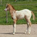clos-des-bruyeres-cheval-appaloosa-boogie-n-paradise-24300