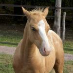 clos-des-bruyeres-cheval-appaloosa-fly-24300