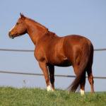 clos-des-bruyeres-cheval-appaloosa-lily-n-paradise-24300