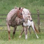 clos-des-bruyeres-cheval-appaloosa-nics-peppy-24300