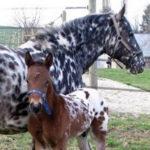 clos-des-bruyeres-cheval-appaloosa-odahmi-24300