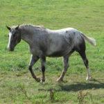 clos-des-bruyeres-cheval-appaloosa-pink-24300