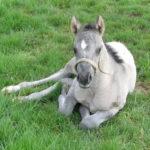 clos-des-bruyeres-cheval-appaloosa-smokiedream-24300