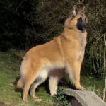 clos-des-bruyeres-elevage-chien-berger-belge-24300-10