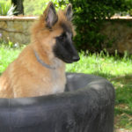clos-des-bruyeres-elevage-chien-berger-belge-24300