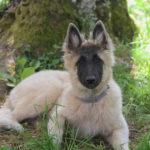 clos-des-bruyeres-elevage-chien-berger-belge-24300-2