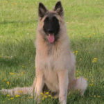 clos-des-bruyeres-elevage-chien-berger-belge-24300-3
