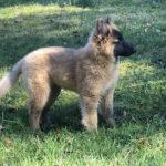 clos-des-bruyeres-elevage-chien-berger-belge-24300-4