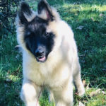 clos-des-bruyeres-elevage-chien-berger-belge-24300-5