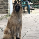 clos-des-bruyeres-elevage-chien-berger-belge-24300-8