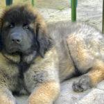 clos-des-bruyeres-elevage-chien-leonberg-24300