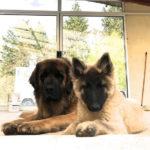clos-des-bruyeres-elevage-chien-leonberg-24300-11
