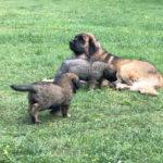 clos-des-bruyeres-elevage-chien-leonberg-24300-13