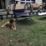 clos-des-bruyeres-elevage-chien-leonberg-24300-3