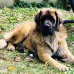 clos-des-bruyeres-elevage-chien-leonberg-24300-4