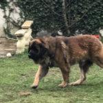 clos-des-bruyeres-elevage-chien-leonberg-24300-7