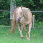 clos-des-bruyeres-elevage-vente-cheval-quarter-horse-pouliniere-cb-chic-shining-up