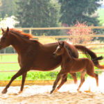 clos-des-bruyeres-elevage-vente-cheval-quarter-horse-pouliniere-genius-candy
