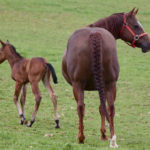 clos-des-bruyeres-elevage-vente-cheval-quarter-horse-pouliniere-shine-like-a-flash