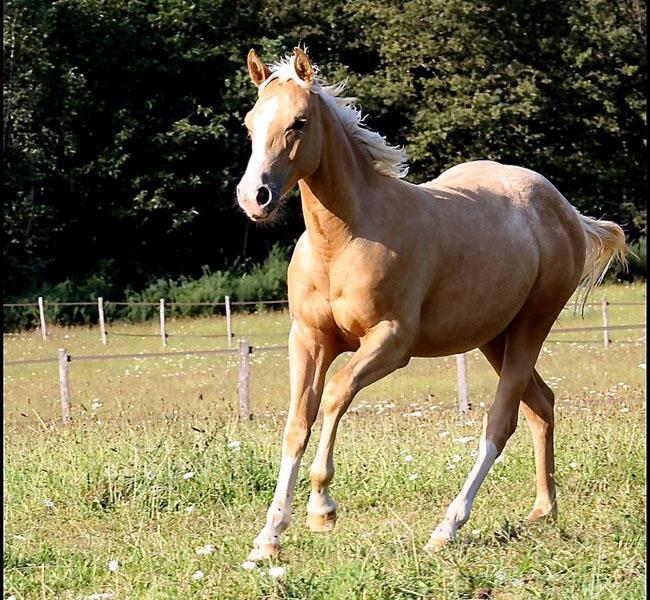 clos-des-bruyeres-vente-cheval-poulain-appaloosa-24300-1
