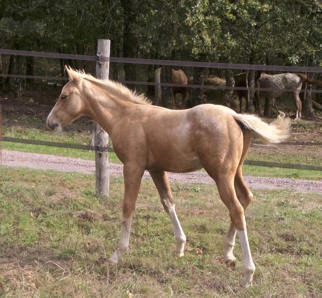clos-des-bruyeres-vente-cheval-poulain-appaloosa-24300-2