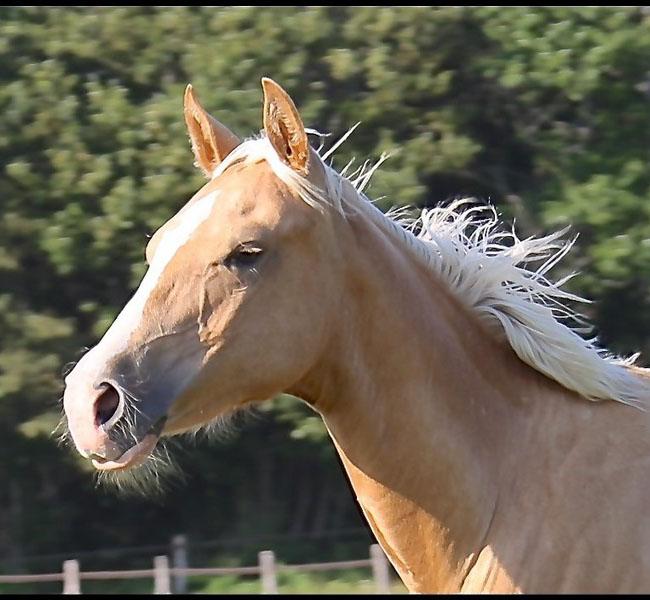 clos-des-bruyeres-vente-cheval-poulain-appaloosa-24300-3
