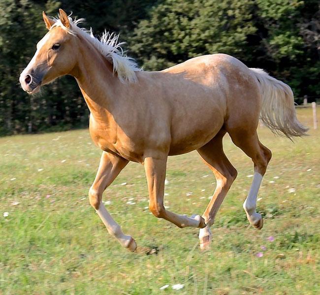 clos-des-bruyeres-vente-cheval-poulain-appaloosa-24300-4