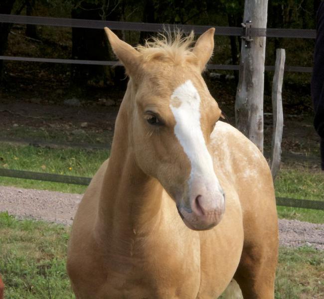 clos-des-bruyeres-vente-cheval-poulain-appaloosa-24300