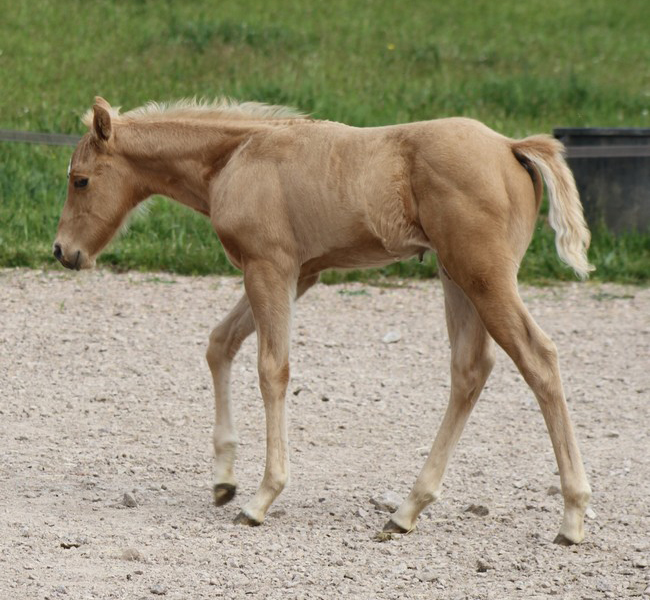 clos-des-bruyeres-vente-poulain-quarter-horse-24300