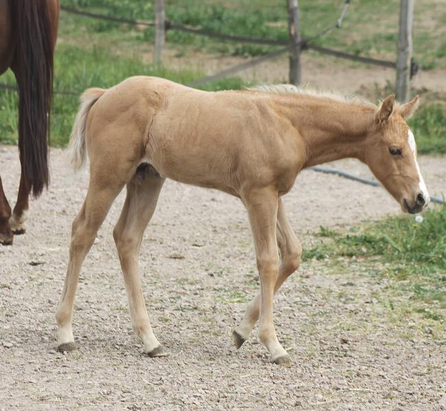 clos-des-bruyeres-vente-poulain-quarter-horse-24300-2