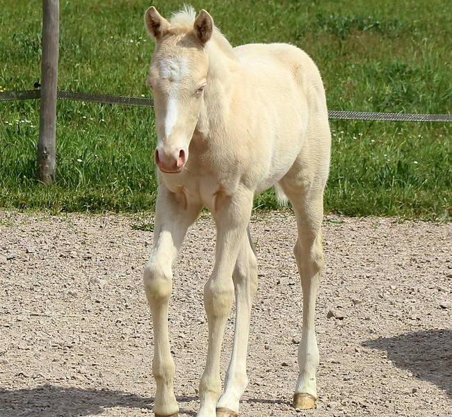 clos-des-bruyeres-vente-poulain-quarter-horse-24300-4