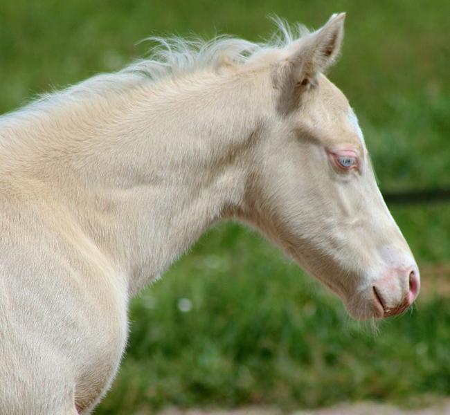clos-des-bruyeres-vente-poulain-quarter-horse-24300-7