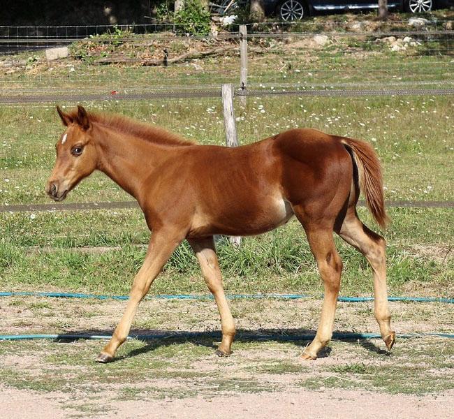 clos-des-bruyeres-poulain-quarter-horse-shining-rozes-a-vendre-1