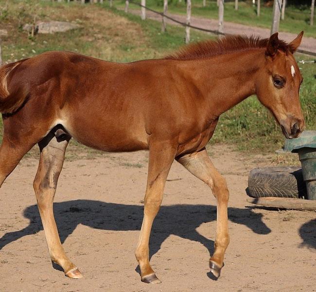 clos-des-bruyeres-poulain-quarter-horse-shining-rozes-a-vendre-3