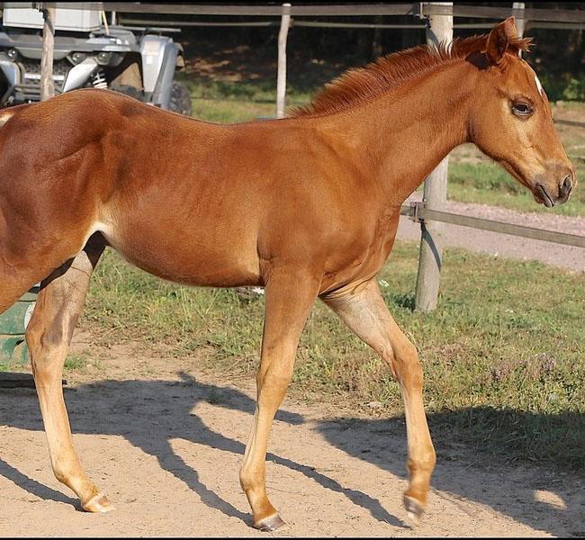 clos-des-bruyeres-poulain-quarter-horse-shining-rozes-a-vendre-4