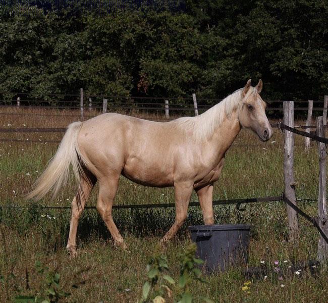 clos-des-bruyeres-vente-poulain-quarter-horse-24300-1