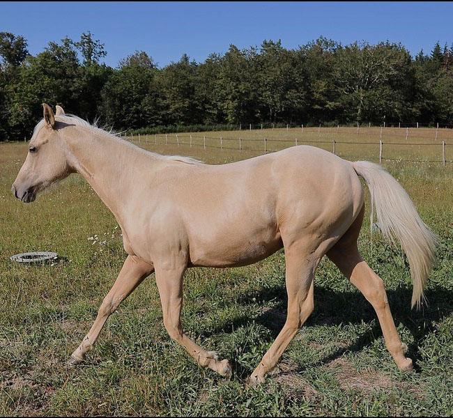 clos-des-bruyeres-vente-poulain-quarter-horse-24300-3