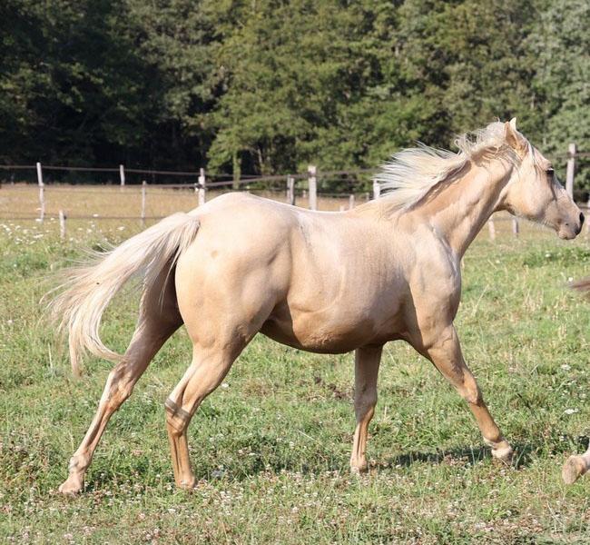 clos-des-bruyeres-vente-poulain-quarter-horse-24300-6
