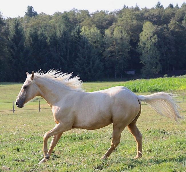 clos-des-bruyeres-vente-poulain-quarter-horse-24300-5